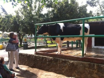 Even members of the Embassy came to visit the cows!